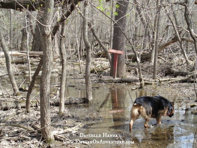 Molly wading down a flooded trail