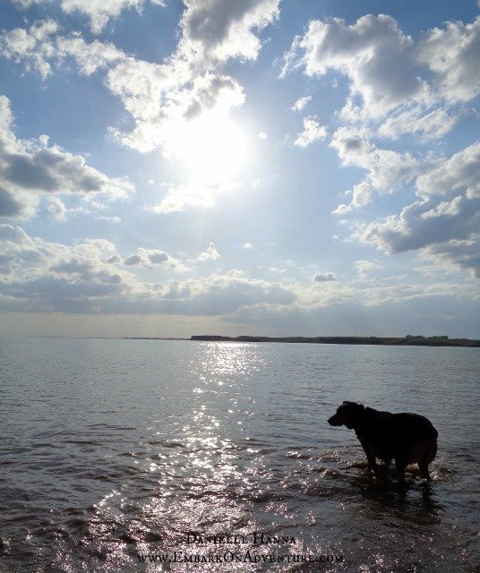 Molly swimming in Lake Sakakawea